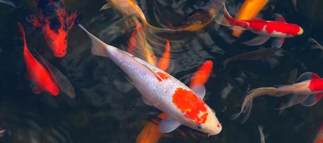 Geneesmiddelen voor vijvervissen