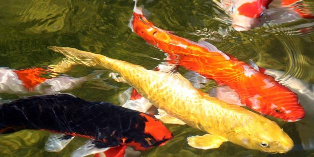 Nieuwe vissen in uw vijver plaatsen hoe en wat for Vissen vijver
